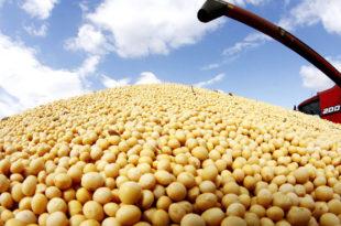 Плодне оранице Мачве, засејане ГМО сојом
