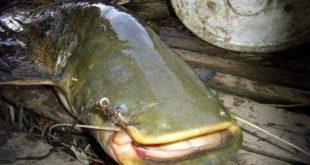 ЕКСКЛУЗИВНО САЗНАЈЕМО: Директор ТЕНТ-а цео дан провео на Сави пецајућу сомове! 5