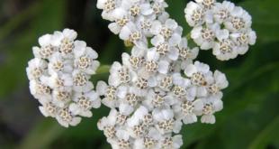Хајдучка трава: Штити, негује и кожу зацељује 6
