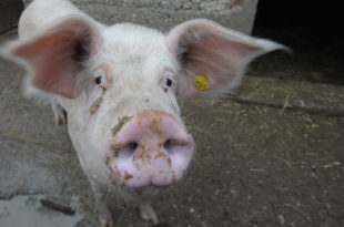 Сврљиг: Свиња одгризла и појела баки од 91 годину прст и уво