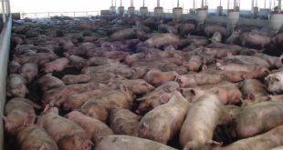 Пораст цене свињског меса (видео) 10