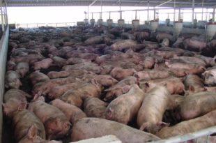 Пораст цене свињског меса (видео)