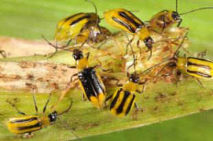 ПРИРОДА УЗВРАЋА УДАРАЦ: Златице су еволуирале и почеле да уништавају ГМО кукуруз!
