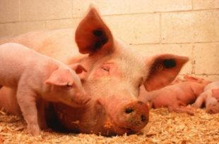 Увозимо свиње, а извозимо кукуруз