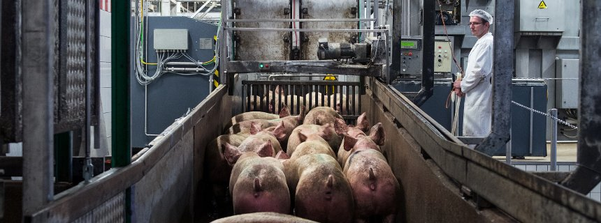essay meat production Electrical stimulation beef carcass chilling: current understanding, future challenges, by jw savell – pdf, e-flip dry aging of beef, by jw savell – pdf.