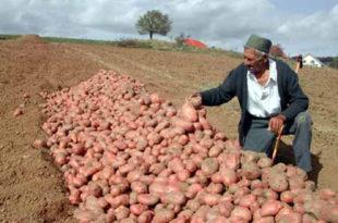 Род кромпира у Србији мањи од 50 до 70 одсто