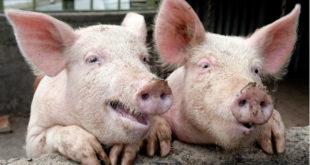 У Србији потврђена афричка куга свиња 4