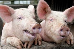 Вучићев режим уништио сточарство, увозе месо које је ђубре по багателним ценама