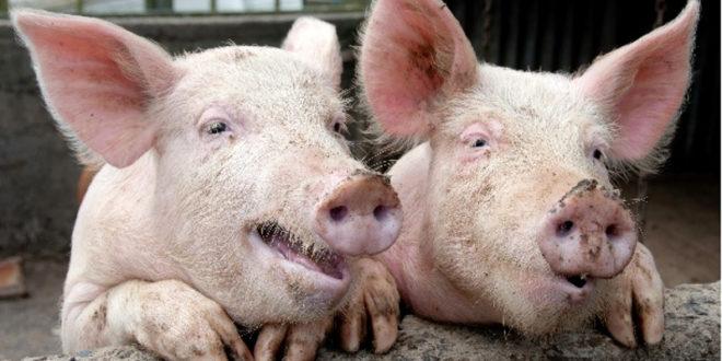 У Србији потврђена афричка куга свиња 1