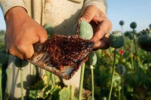 Талибани забранили производњу мака, скочила цена опијума и хероина