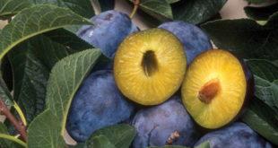 Русија упозорила да би могла привремено да обустави увоз српског воћа због заразе 9