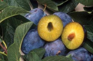 Русија упозорила да би могла привремено да обустави увоз српског воћа због заразе