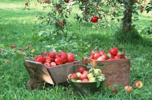 Јабука која тражи минимално прскање 8