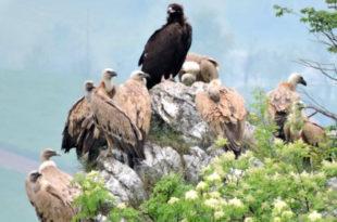 Црни орао у Србији после 120 година 2