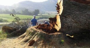 Проклетства – мит или стварност: Секиром на свето дрво! 11