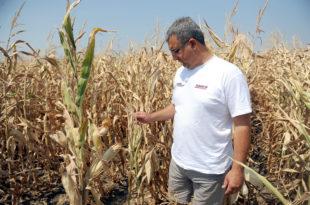 Приноси кукуруза биће преполовљени