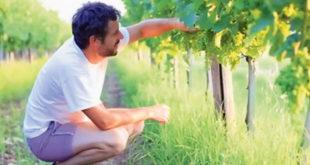 ВРЕМЕ ЛУДАКА! Без икаквог разлога уништавају винограде?! 4