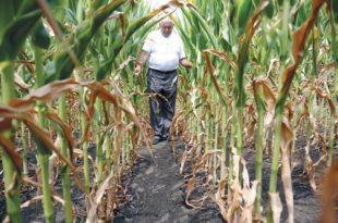 Суша опустошила њиве, у Срему род кукуруза преполовљен
