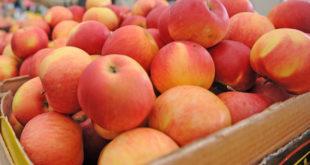 Јабуке никад јефтиније: Због ниске цене род ће завршити у ракији