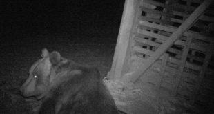 Стара планина: Вратили се мрки медведи, чекају принове 9