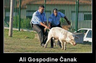 ДСС: Због чега је Чанак заштићена животиња српског правосуђа?