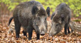 Обреновац: Џакови с песком чекају тендер док дивље свиње упадају људима у куће