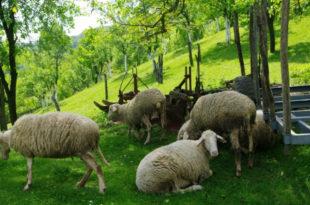Лопови кољу овце у тору