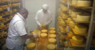 Увоз вишка из ЕУ уништава домаћи сир 13