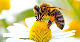 Помор пчела у Поморављу због употребе пестицида 6