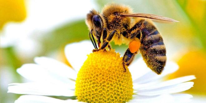 Помор пчела у Поморављу због употребе пестицида