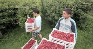 Шта се дешава с малином: Уцењени српски сељак 5