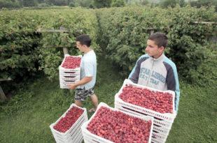 Шта се дешава с малином: Уцењени српски сељак 1