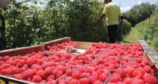 Цена малина 139,3 динара по килограму, без трошкова превоза и марже 12