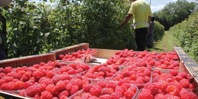 Асоцијација малинара незадовољна ниском ценом тог воћа и прети да ће блокирати откупљиваче 1