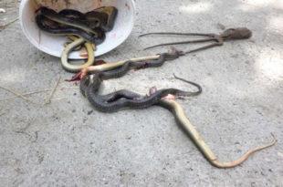 ХОРОР ЗМИЈСКО ЛЕГЛО У КУЋИ: 300 змија у дечјим креветима! (фото)