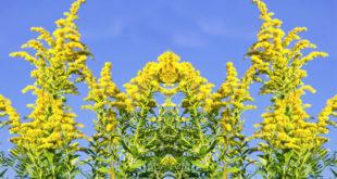 Златница штити бубреге и уринарни тракт 4