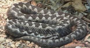 У Србији се појавила једна од најотровнијих змија на свету!