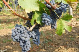Виноградари у Подунавском крају спремни за бербу грожђа
