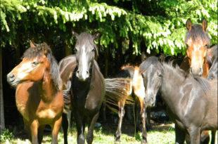 Дивљи коњи у дивљини Суве планине