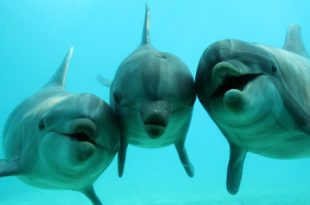 Руски научници тврде да делфини разговарају