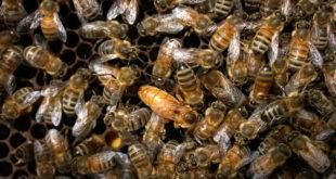 У Србији страдалао 50 МИЛИОНА ПЧЕЛА, очајни пчелари плачу од МУKЕ! 8