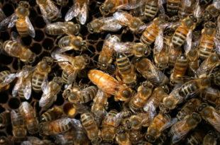У Србији страдалао 50 МИЛИОНА ПЧЕЛА, очајни пчелари плачу од МУKЕ! 1