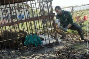 Одузета три медведа у Србобрану, трага се за јагуаром и мајмуном