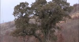 МИСТЕРИОЗНИ ХРАСТ У СЕЛУ БАНЧИЋИ: Лишће му не опада од како га је благословио Свети Сава! (видео)