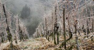 Воћарима и виноградарима мраз и снег уништили 80% овогодишњег рода