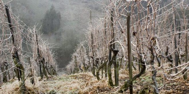 Воћарима и виноградарима мраз и снег уништили 80% овогодишњег рода 1