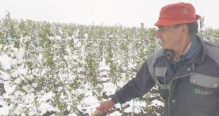 Мраз и снег прете да воћарима униште 80% овогодишњег рода 9