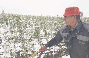 Мраз и снег прете да воћарима униште 80% овогодишњег рода