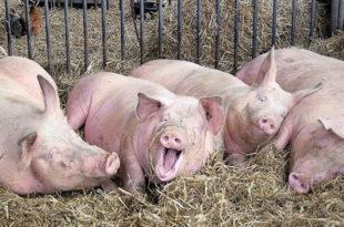 Зашто је Србија од великог узгајивача свиња постала велики увозник свињског меса 10