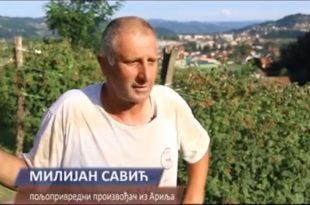 Малинар Милијан Савић због ниске откупне цене малине покосио своје малине (видео)